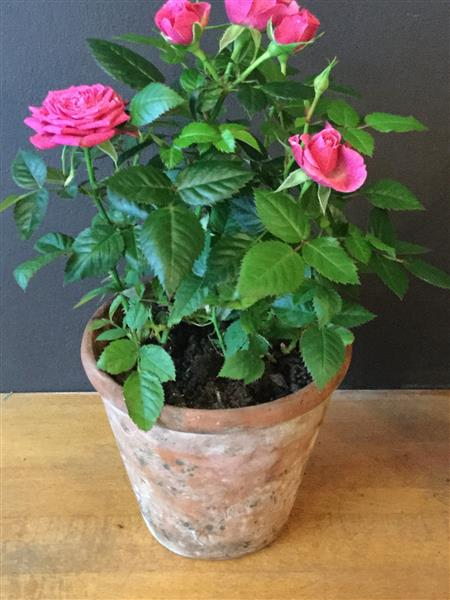 Ginger Lily Flowers Rose Plant In Vintage Pot